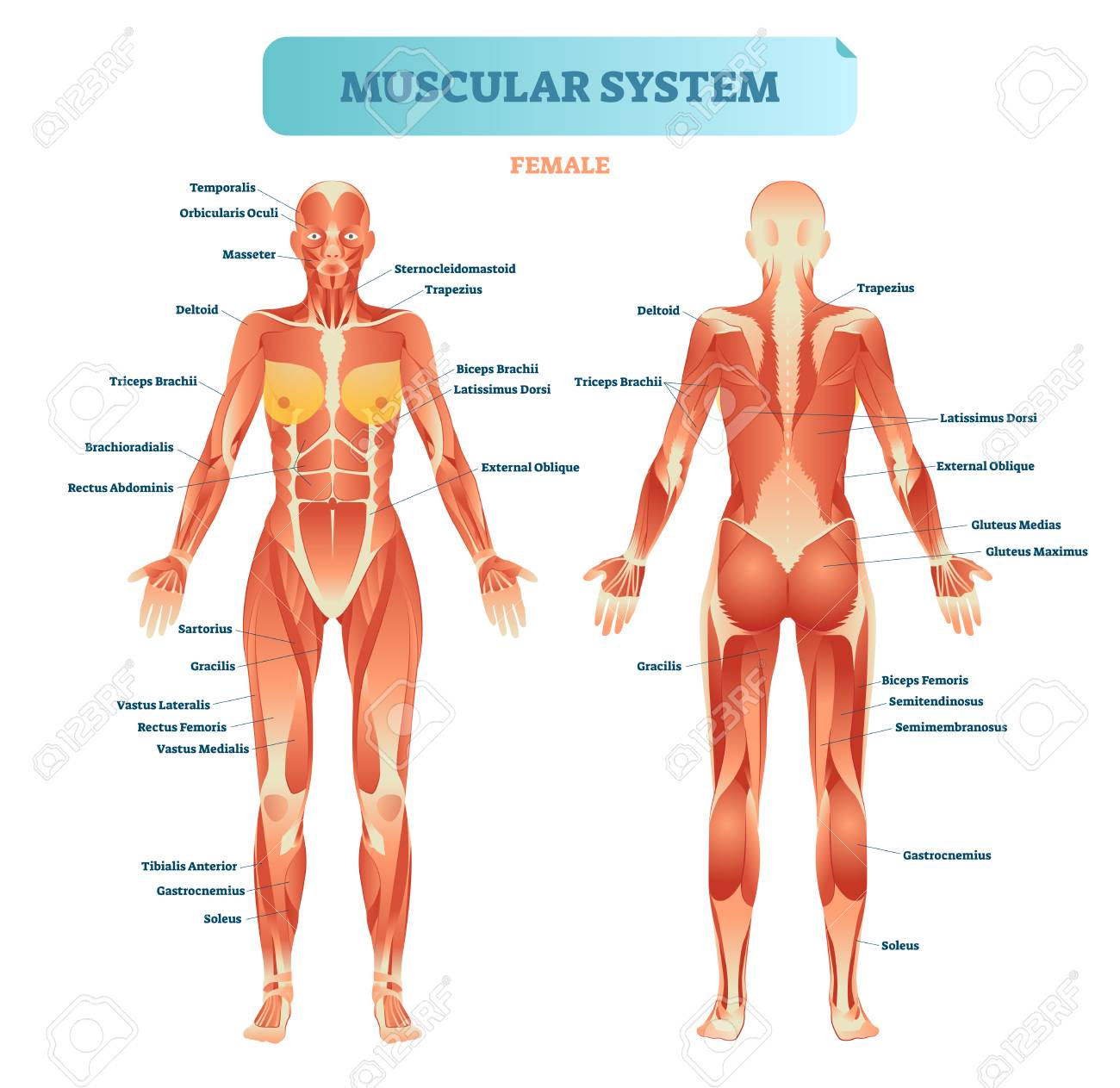 Female Muscular System, Full Anatomical Body Diagram With Muscle ...
