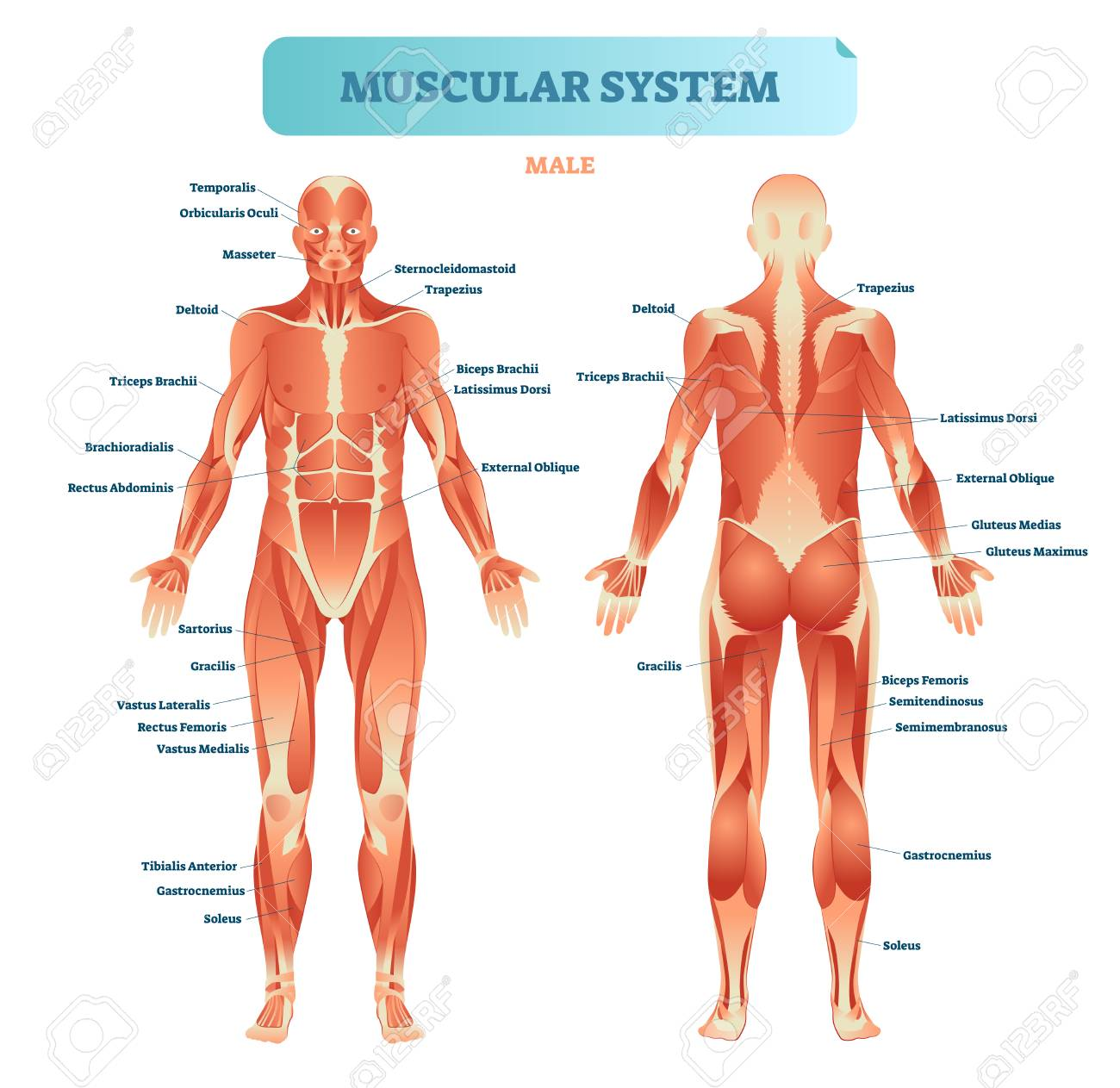 Male muscular system, full anatomical body diagram with muscle scheme, vector illustration educational poster. - 100867245