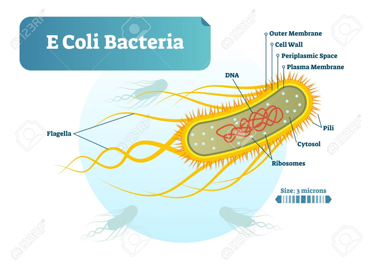 E coli bacteria micro biological vector illustration cross section e coli bacteria micro biological vector illustration cross section labeled diagram medical research information ccuart Images