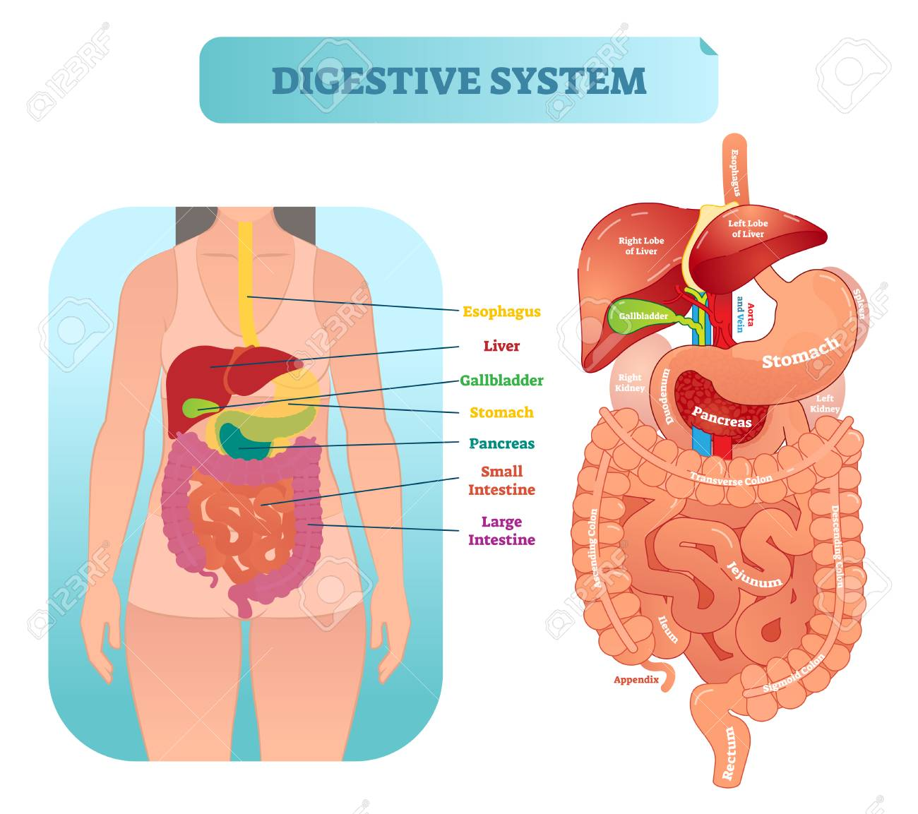 Human digestive system medical anatomical vector illustration human digestive system medical anatomical vector illustration diagram with inner organs female patient medical ccuart Gallery