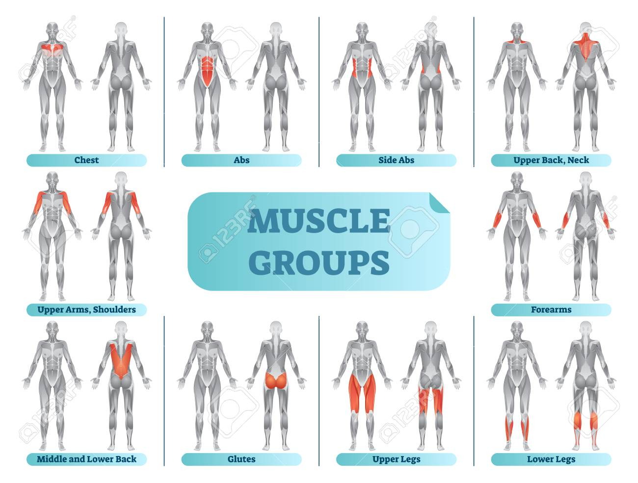 Female muscle groups anatomical fitness vector illustration, sports training informative chart. - 102093634