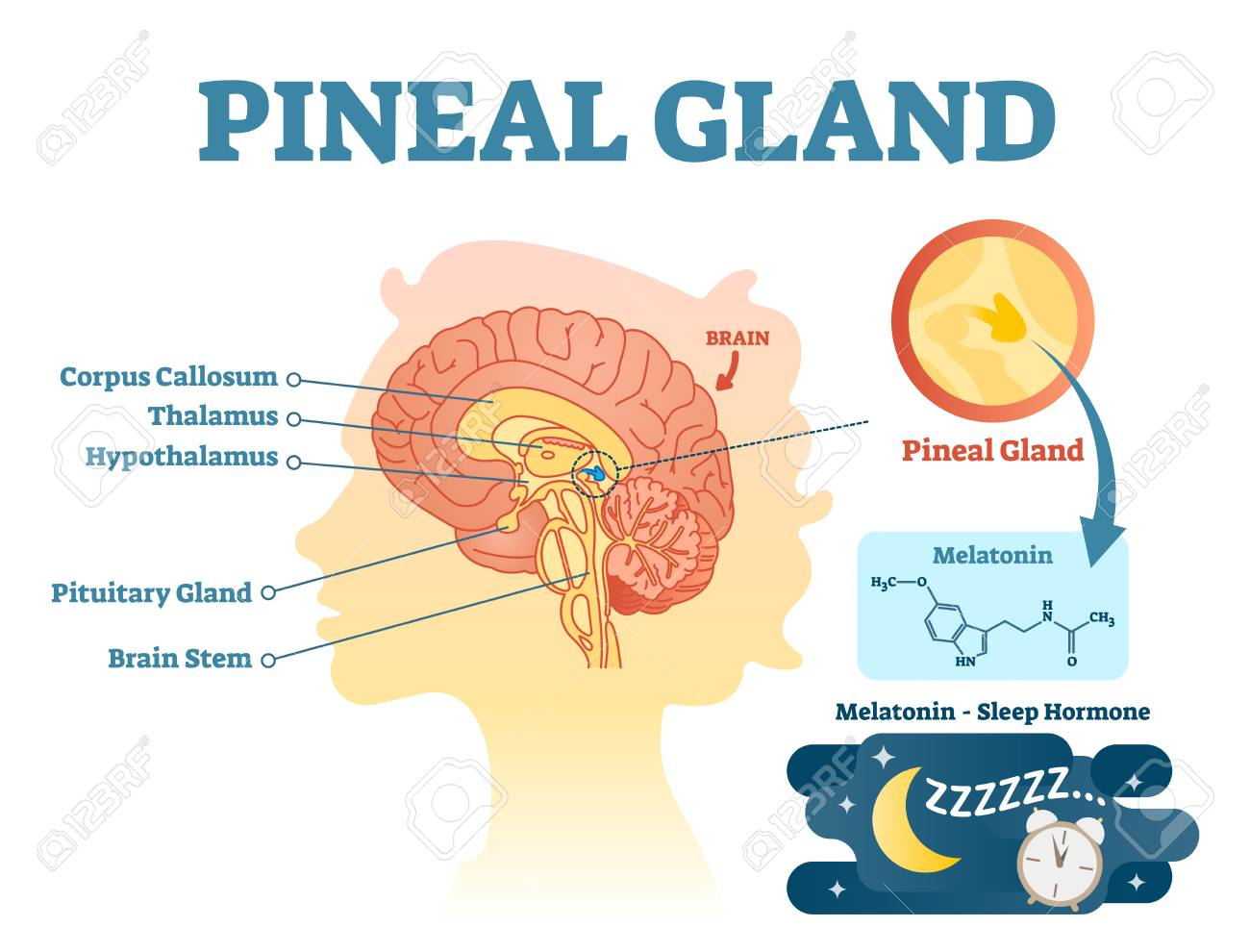 Pineal gland anatomical cross section vector illustration diagram with human brains. Medical information poster. - 102232803