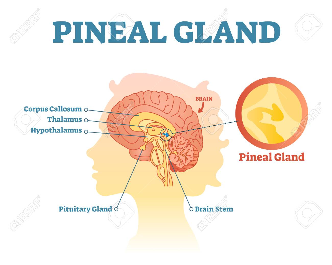 Pineal Gland Anatomical Cross Section Vector Illustration Diagram