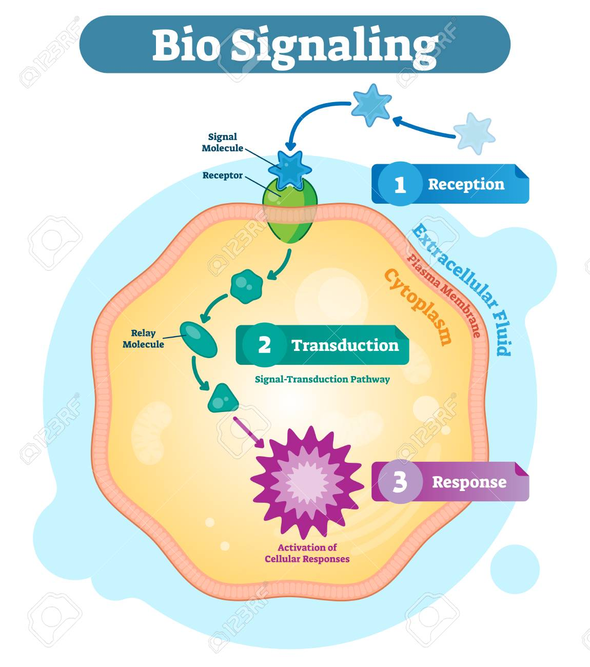 Bio signaling cell communication network system, micro biological anatomy labeled diagram vector illustration with receptor, transduction and response activity. Cell cross section scheme. - 103166995