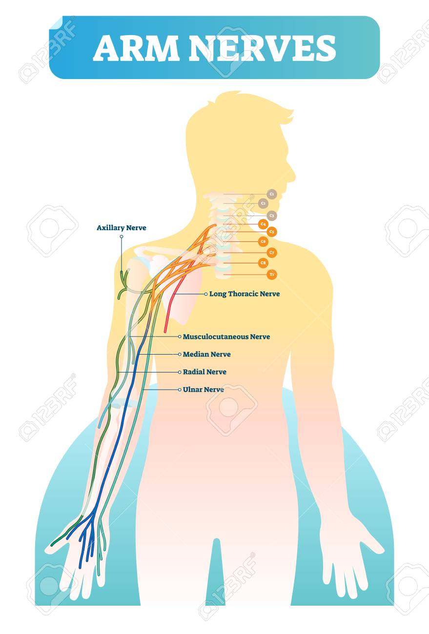 Vector illustration with human arm nerves. Anatomical scheme with axillary, long thoracic, musculocutaneous, median, radial and ulnar nerves. Vertebrae with C1-C8 and T1 close-up and neurology basics. - 105787915