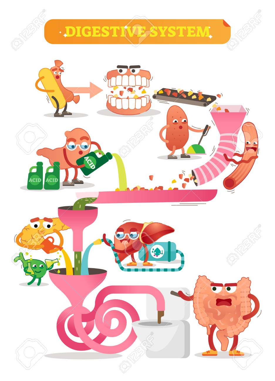 Vector illustration of digestive system. Comic scheme with personalizated and colorful mouth, gut, kidney, pancreas, bladder and liver. Diagram with ascending, transverse, descending and sigmoid colon - 105785793