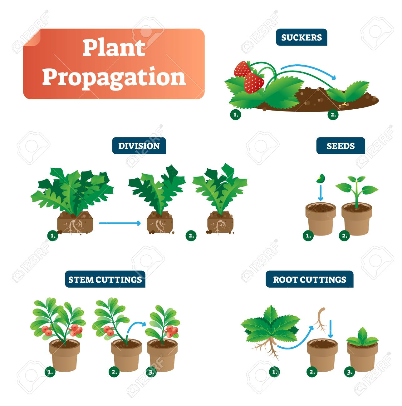 Plant Propagation Vector Illustration Diagram. Scheme With Labels.. Royalty  Free Cliparts, Vectors, And Stock Illustration. Image 114774596.123RF