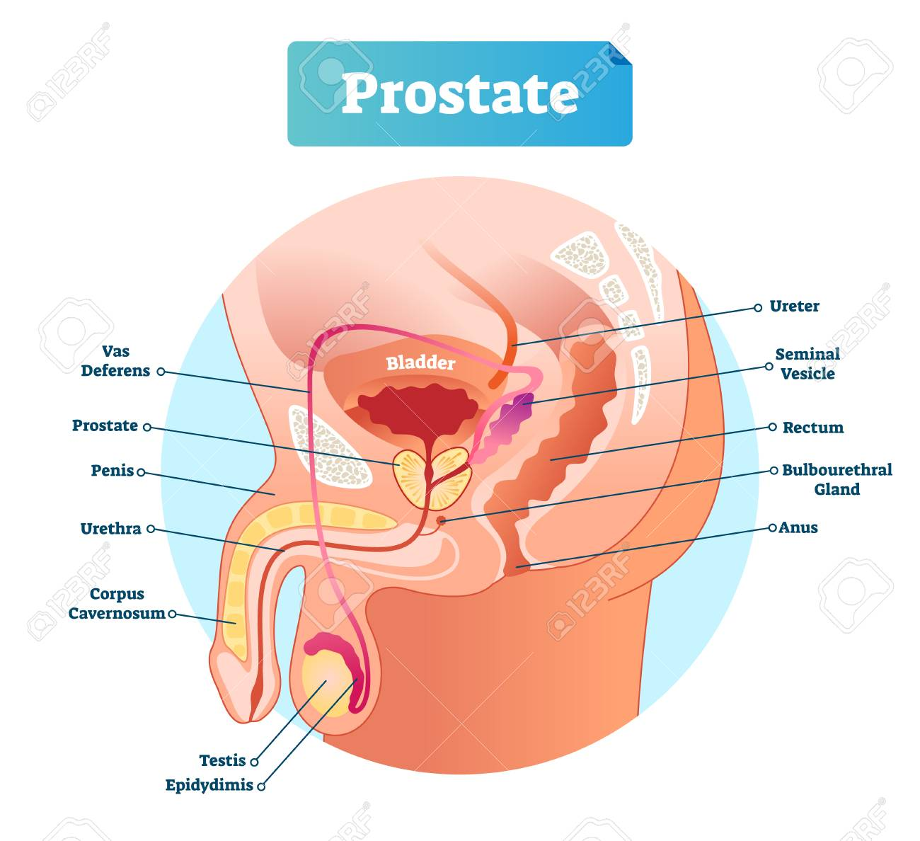 diagram of penis prostate labeled vector illustration educational male anatomy  prostate labeled vector illustration