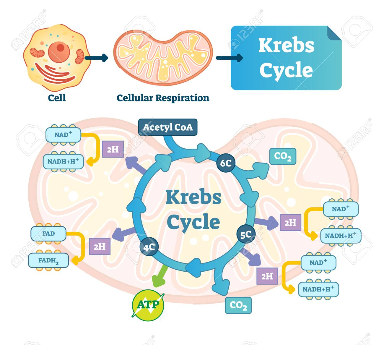 krebs cycle vector illustration. citric tricarboxylic acid labeled