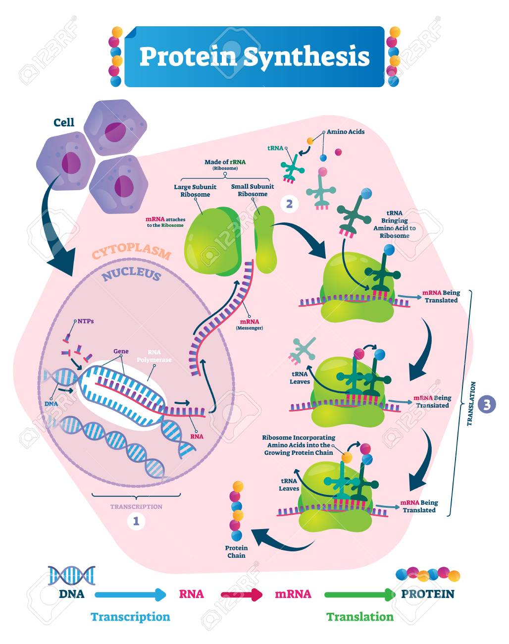 Protein synthesis vector illustration. Labeled transcription and translation steps diagram with full cycle explanation. How body creates protein chain from cytoplasm. - 118163264