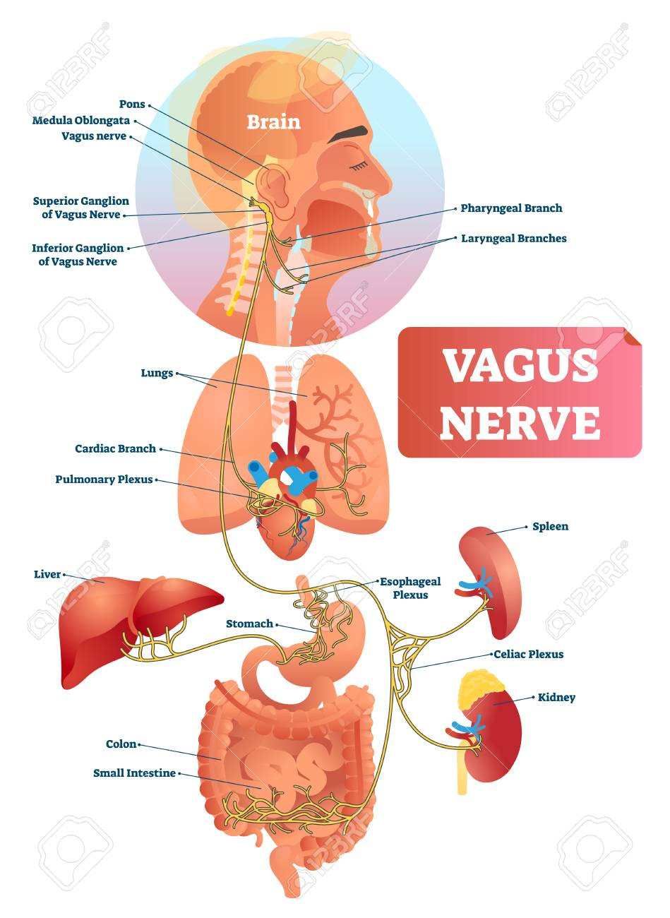 Vagus nerve vector illustration. Labeled anatomical structure scheme and location diagram of human body longest nerve. Infographic with isolated ganglion, branches and plexus. Inner biological ANS. - 120893353
