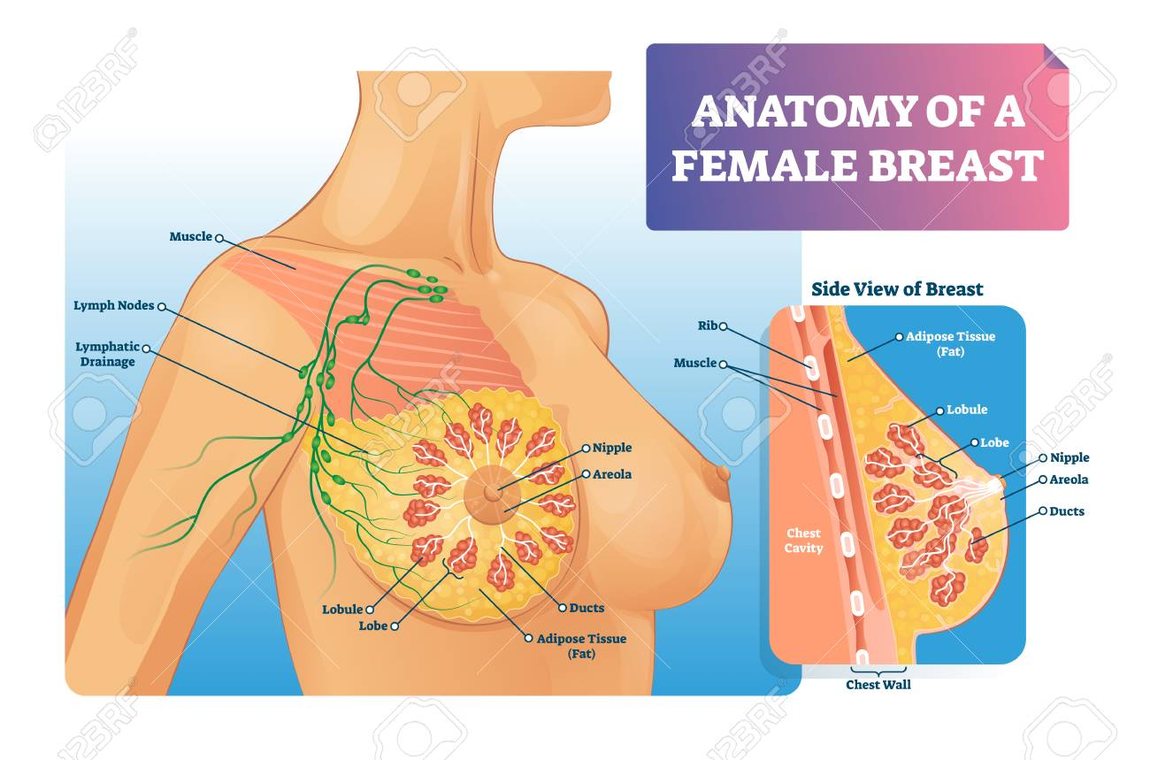 Breast Anatomy Vector Illustration Labeled Medical Female Organ