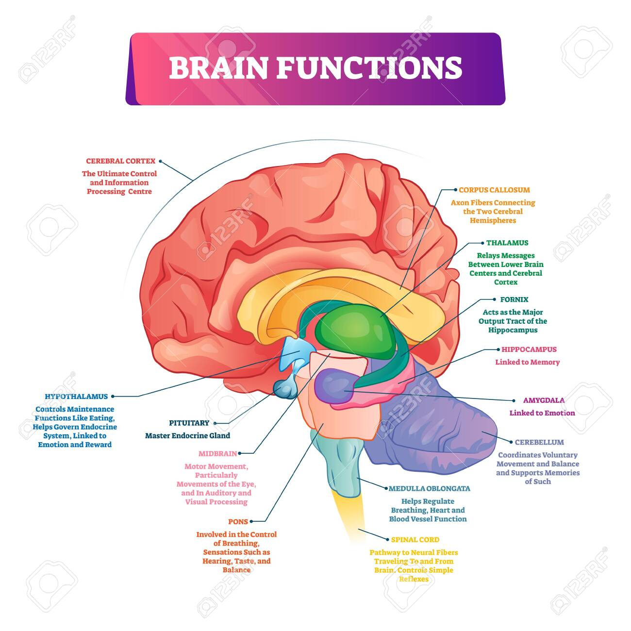 Brain functions vector illustration. Labeled explanation head organ parts scheme. Inner side view with educational section description. Cerebral cortex, hypothalamus, spinal cord and thalamus diagram. - 139354775