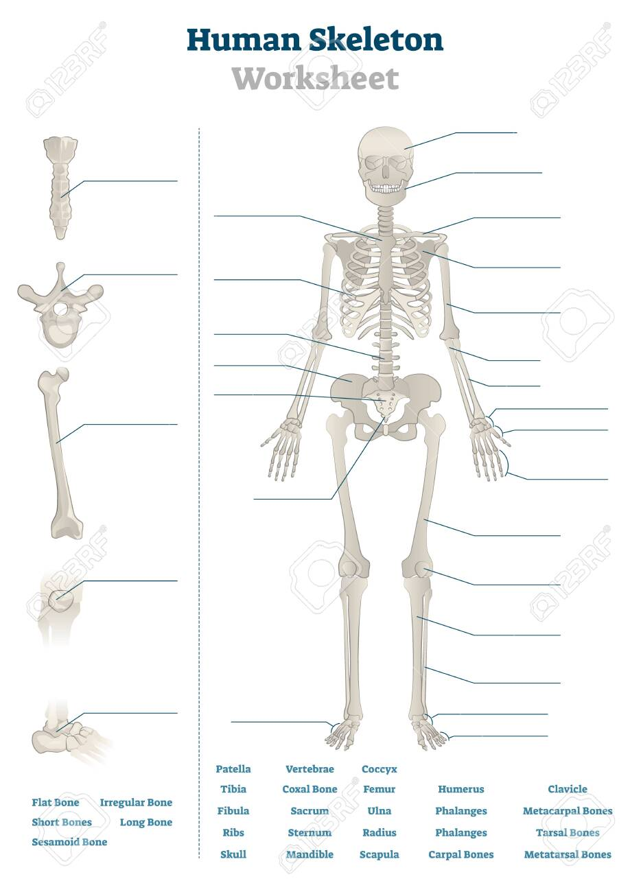 Human Skeleton Worksheet Vector Illustration. Blank Educational ...