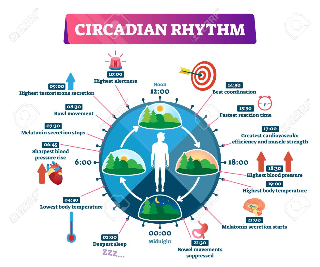 Circadian rhythm vector illustration. Labeled educational day cycle scheme. Daily human body inner regulation schedule. Natural sleep-wake biological process explanation and chronobiology infographic. - 135230932
