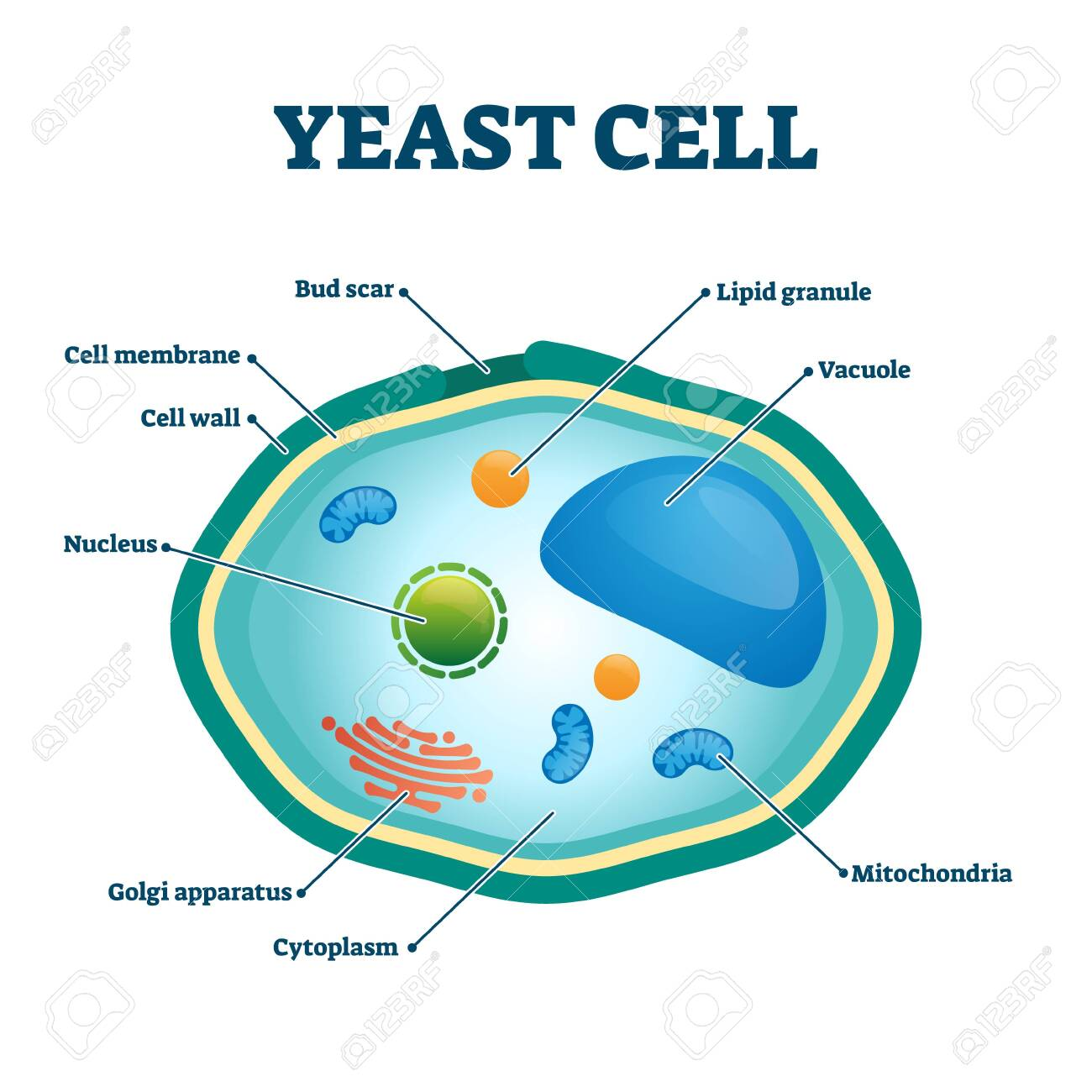 Yeast cell vector illustration. Labeled fungus microorganism closeup structure diagram. Biological scheme with educational internal parts titles. Single celled natural fermentation process ingredient. - 137154733