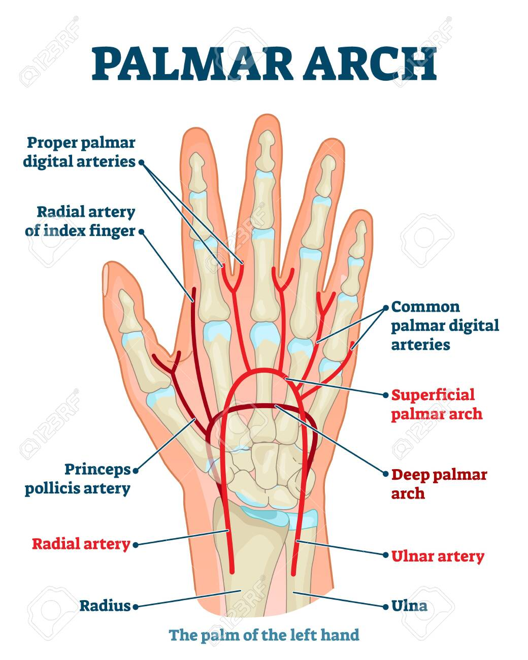 Palmar Arch Anatomical Vector Illustration Diagram. Palm Blood.. Royalty  Free Cliparts, Vectors, And Stock Illustration. Image 140741971.