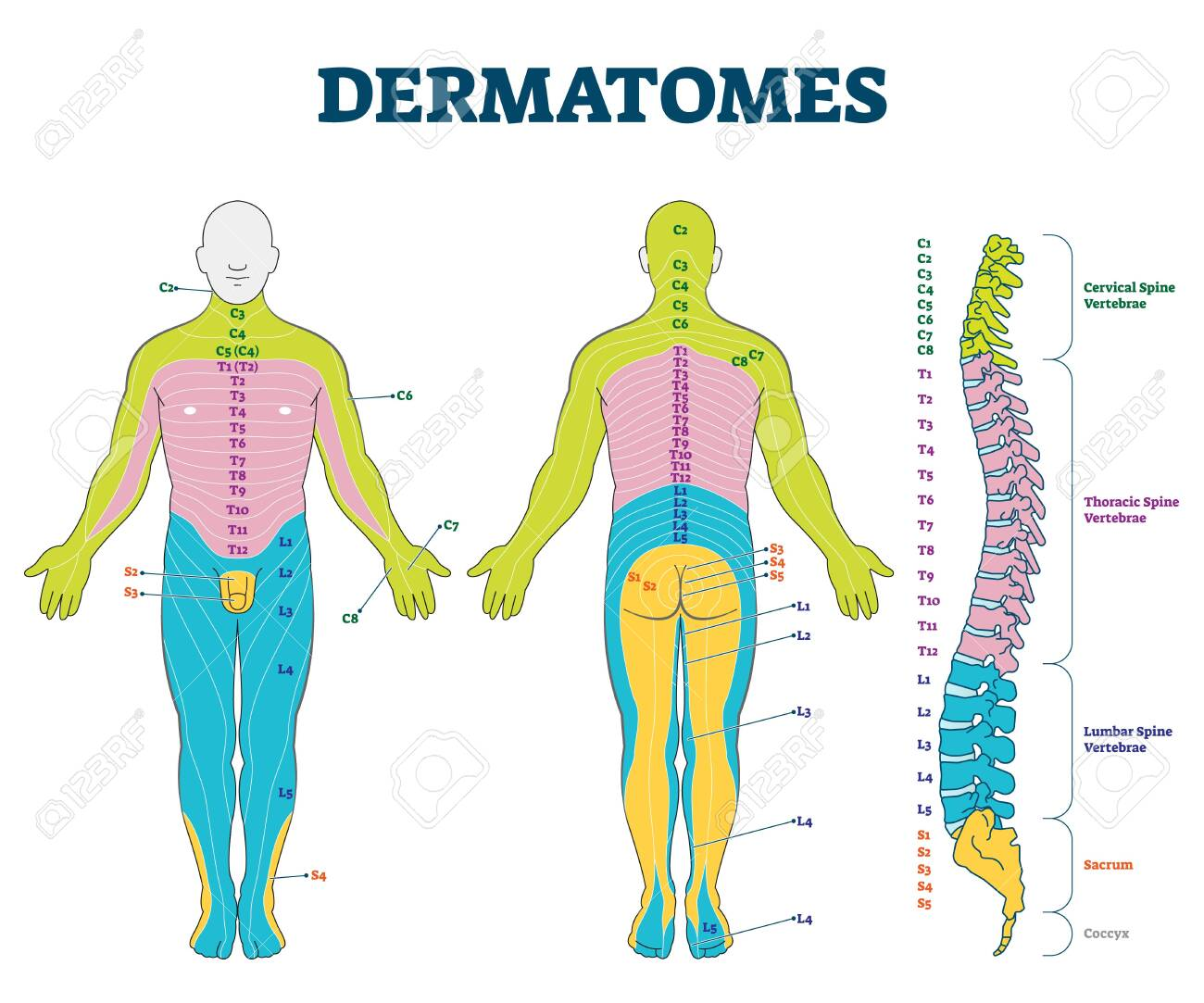 Dermatomes vector illustration. Labeled educational anatomical skin parts scheme. Epidermis area supplied by afferent spinal nerve fibers. Cervical, thoracic, lumbar and sacral nerves division diagram - 142519115