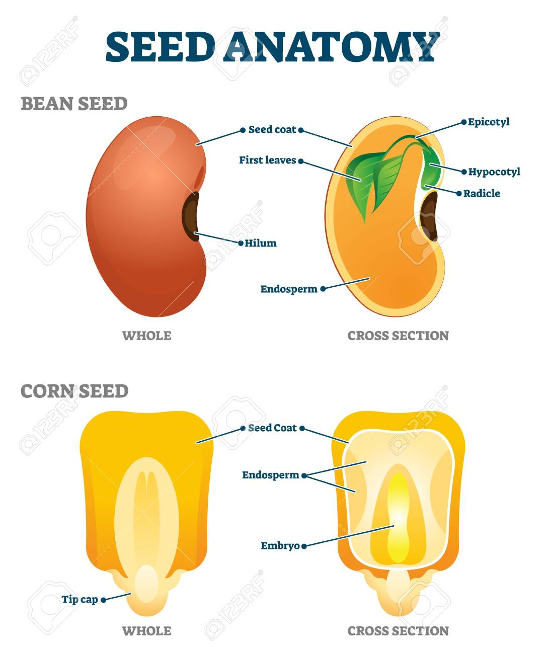 seed anatomy vector illustration. labeled educational botany.. royalty free  cliparts, vectors, and stock illustration. image 143535328.  123rf.com
