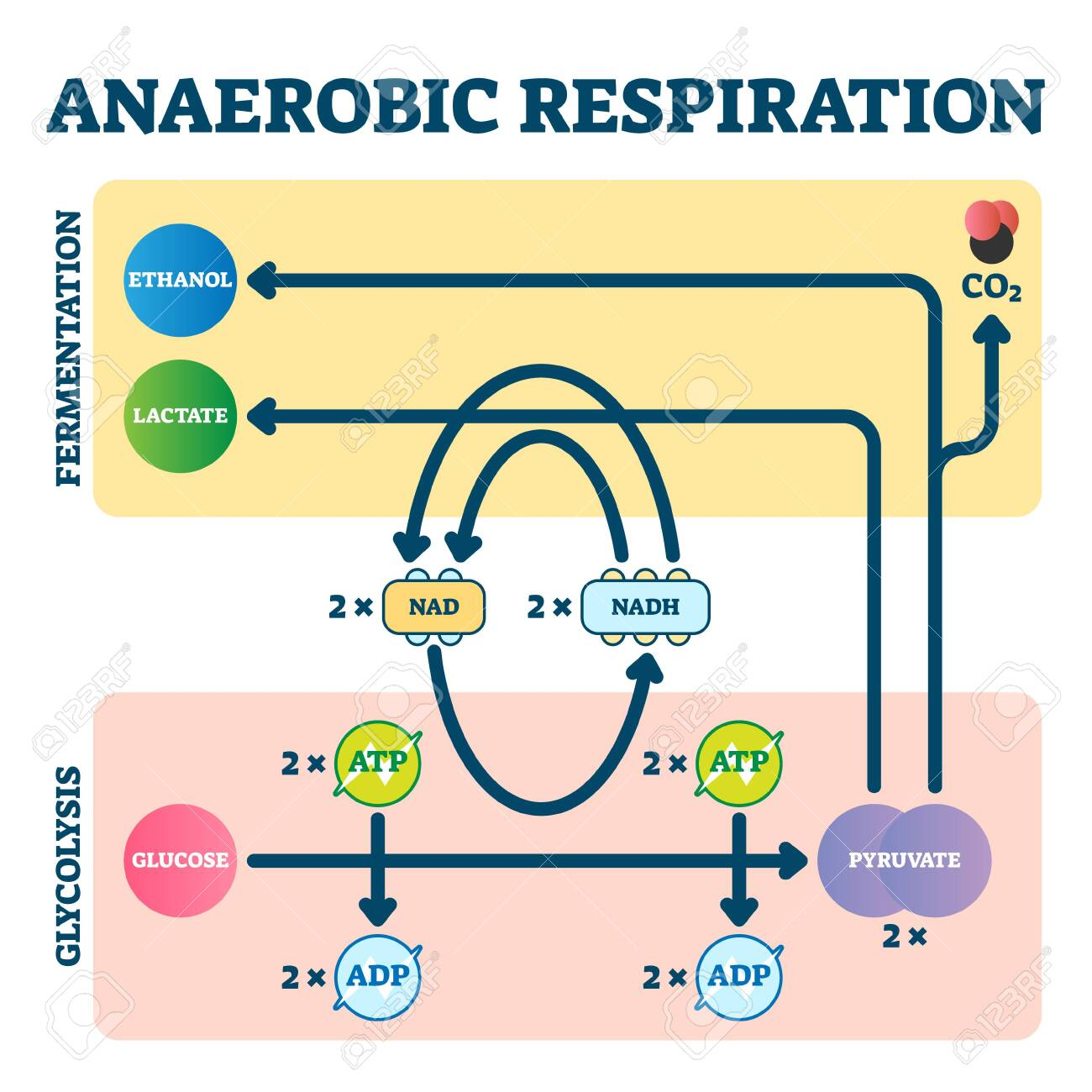 Anaerobic respiration vector illustration. Glycolysis and fermentation scheme as electron transport chain explanation. Glucose and pyruvate educational diagram. Molecular oxygen as energy source graph - 144960325