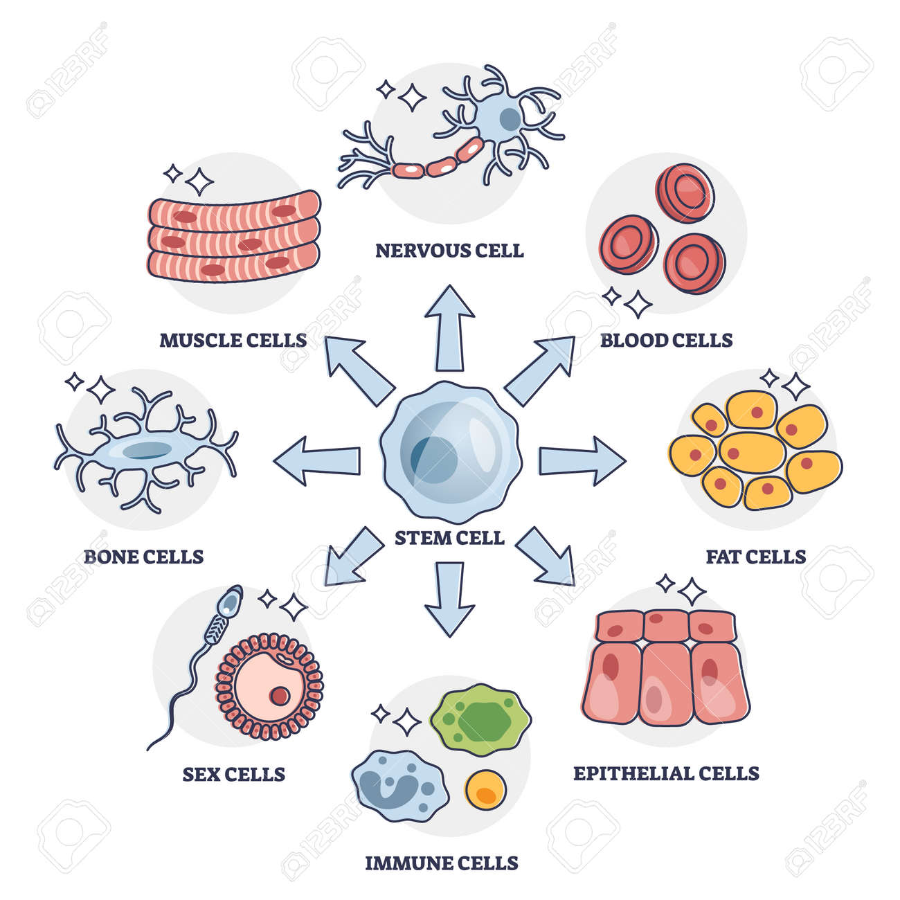 Cellular differentiation process with stem cell type change outline diagram - 172997537