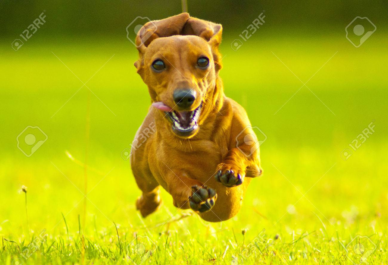 Front view of a dachshund running fast towards camera in a grassy field - 33321920