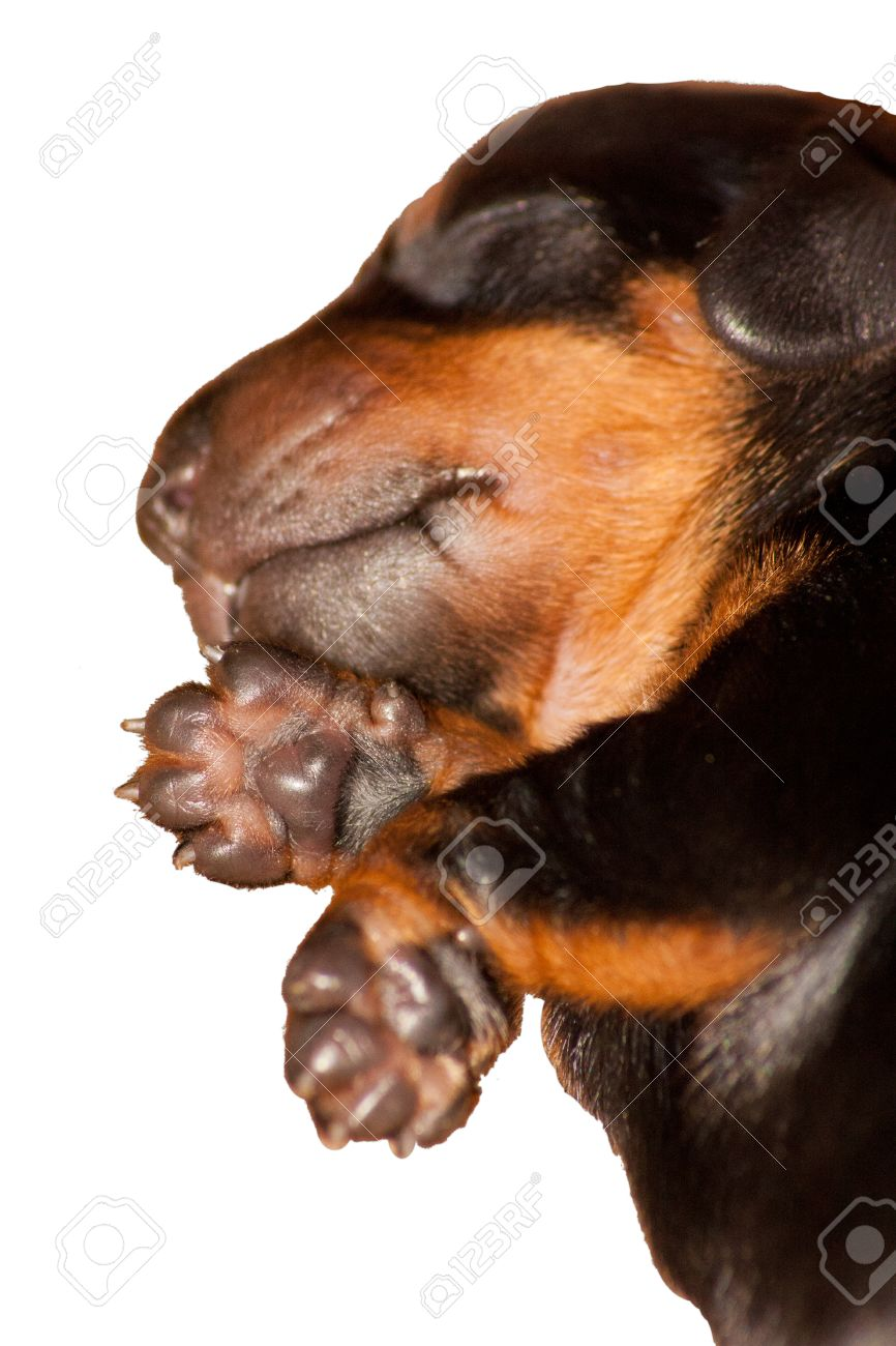 Newborn Baby Dachshund Puppy Sleeping Stock Photo Picture And Royalty Free Image Image 33343363