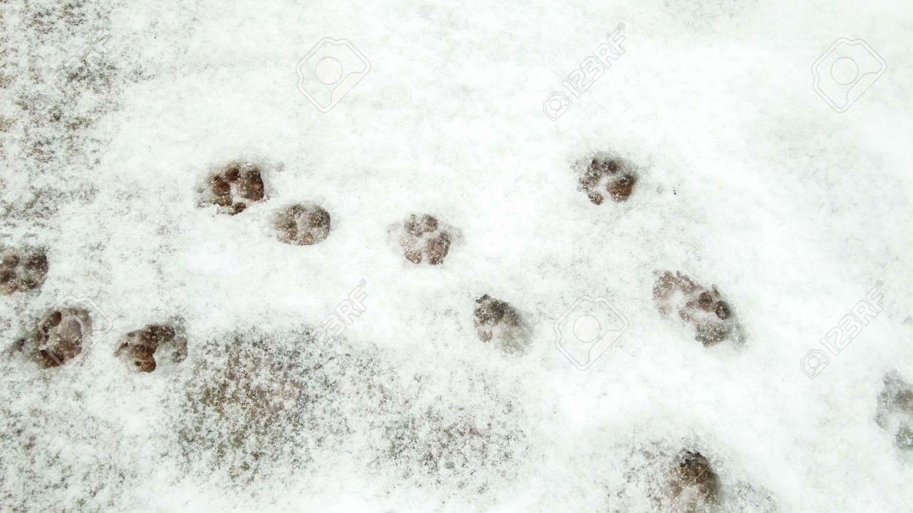 A running pattern of paw prints that have been imbedded in the snow. - 166119401