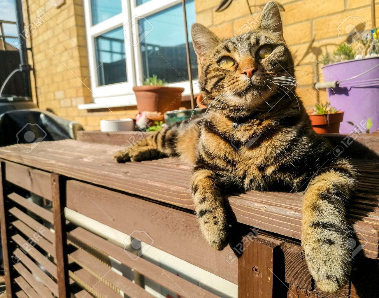 A dark coloured cat enjoys the heat of the sun, during summertime, and relaxes in the sunshine. - 168149664