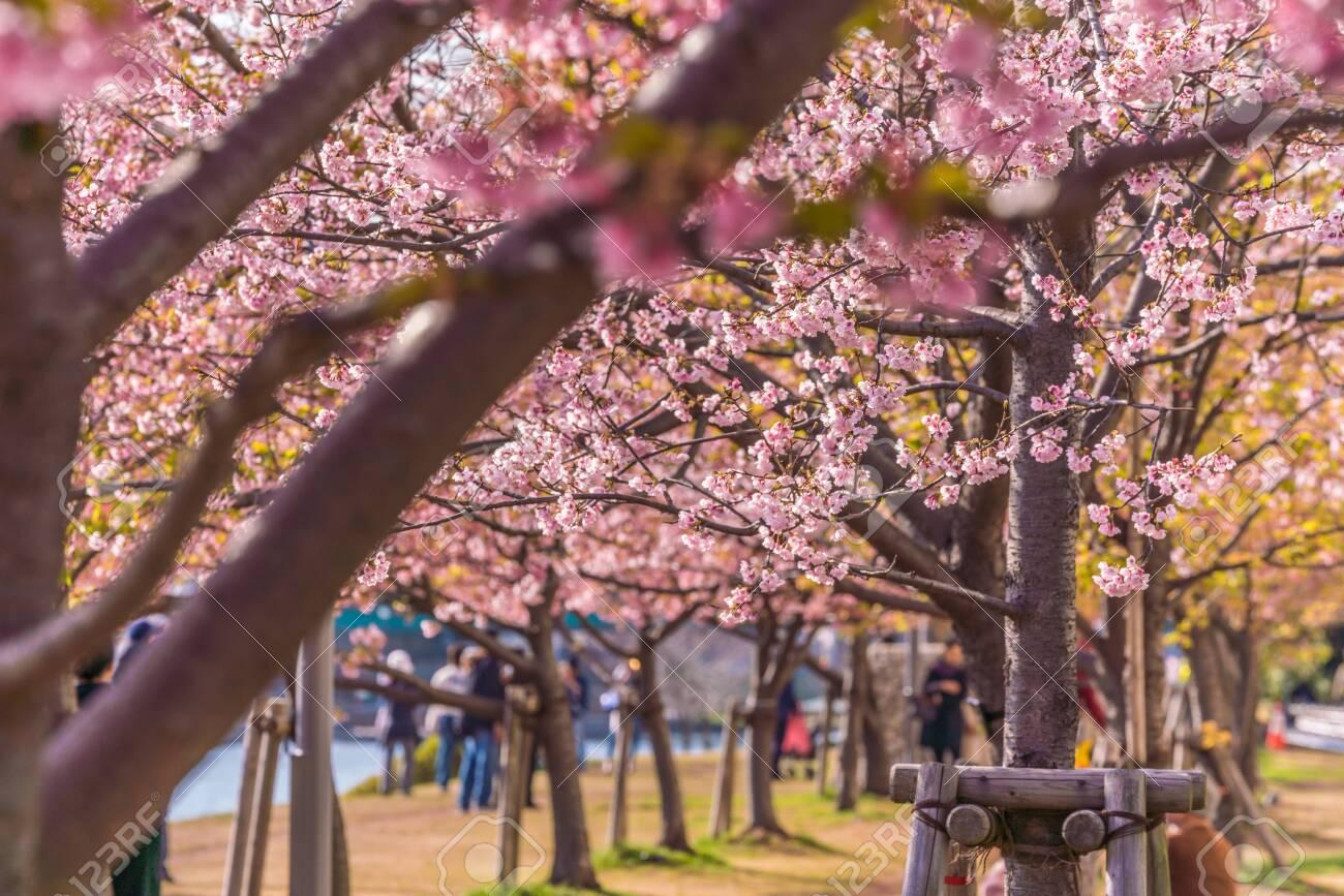 Spring in Japan, Tokyo, Edogawa-ku, Kawazu cherry blossoms along the former Nakagawa River - 136548526