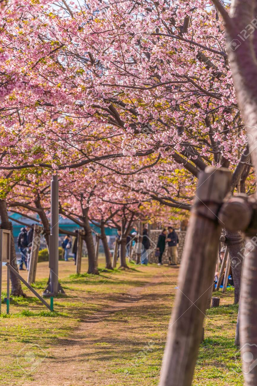 Spring in Japan, Tokyo, Edogawa-ku, Kawazu cherry blossoms along the former Nakagawa River - 136548530