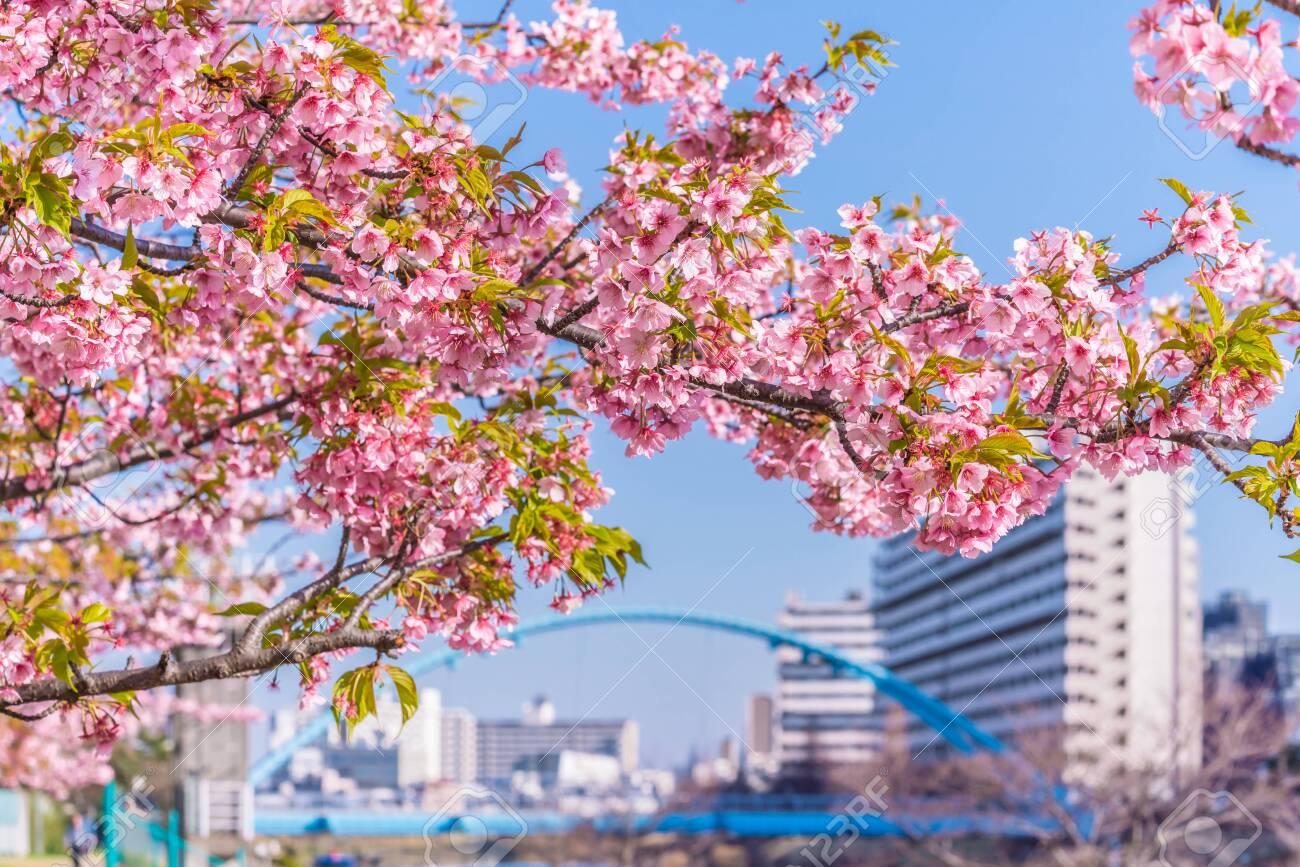 Spring in Japan, Tokyo, Edogawa-ku, Kawazu cherry blossoms along the former Nakagawa River - 136548531