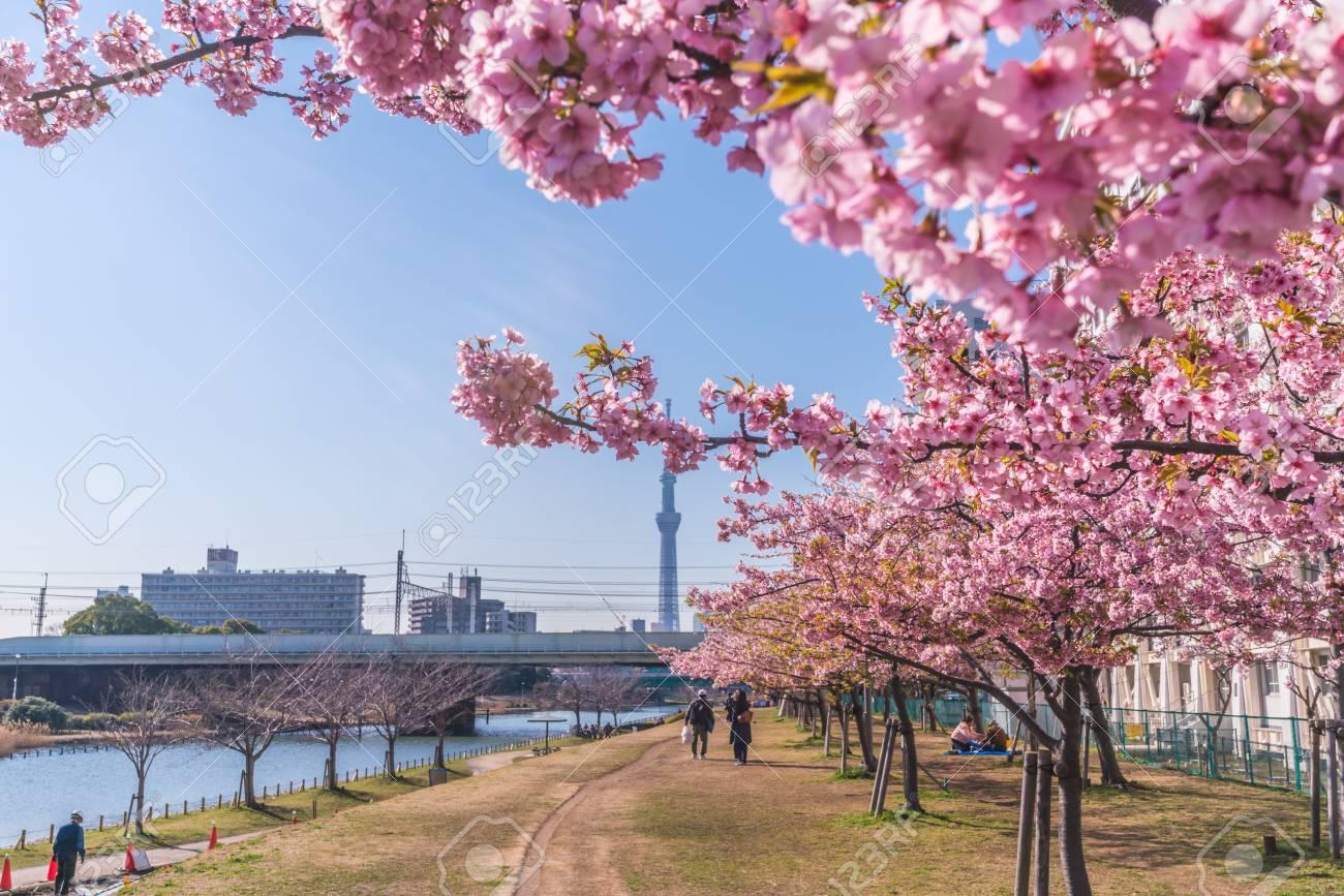 Spring in Japan, Tokyo, Edogawa-ku, Kawazu cherry blossoms along the former Nakagawa River - 136572873