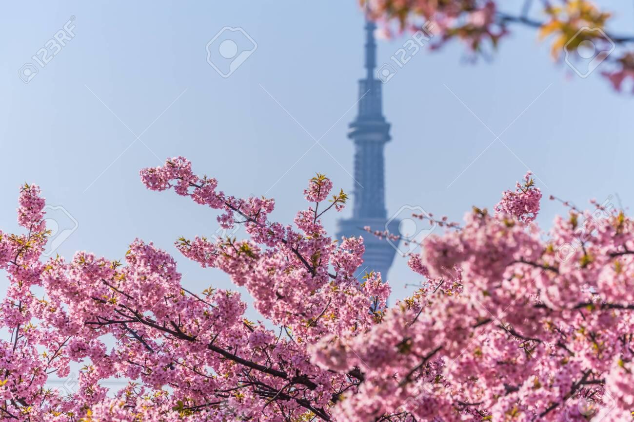 Spring in Japan, Tokyo, Edogawa-ku, Kawazu cherry blossoms along the former Nakagawa River - 136572881