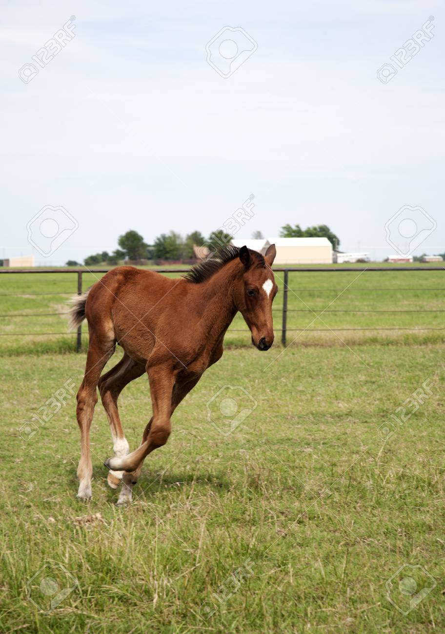 Vertical Color Image Foal Running On The Field Chestnut Thoroughbred