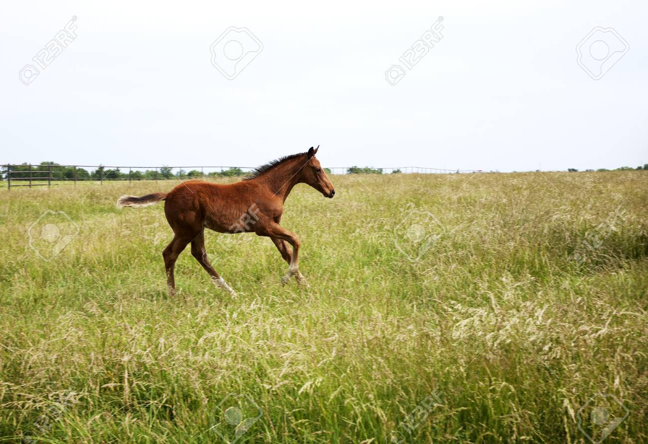 Horizontal Color Image Foal Running On The Field Chestnut Thoroughbred