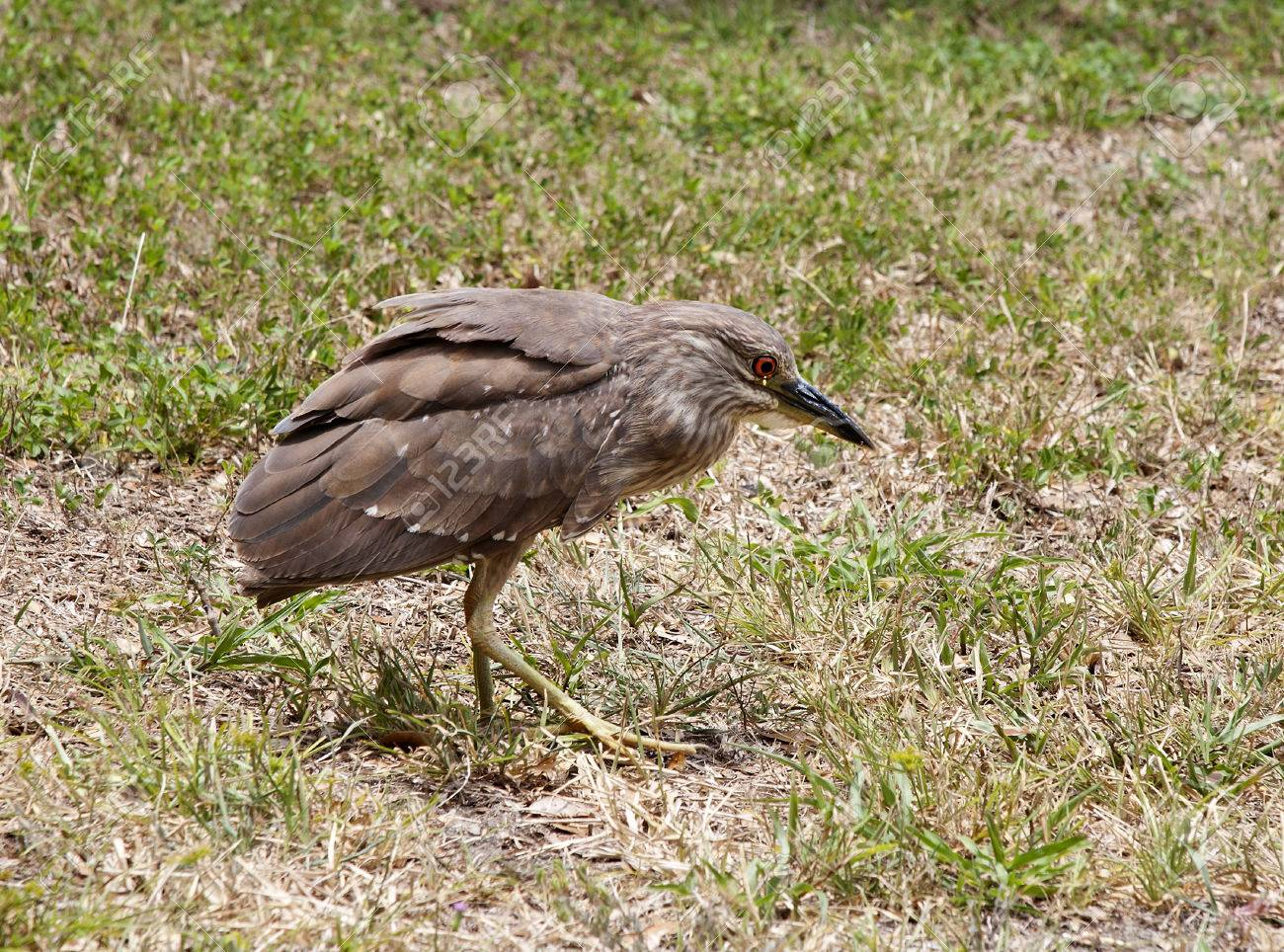 Baby Birds Chick Night Heron With Brown Feathers Stock Photo