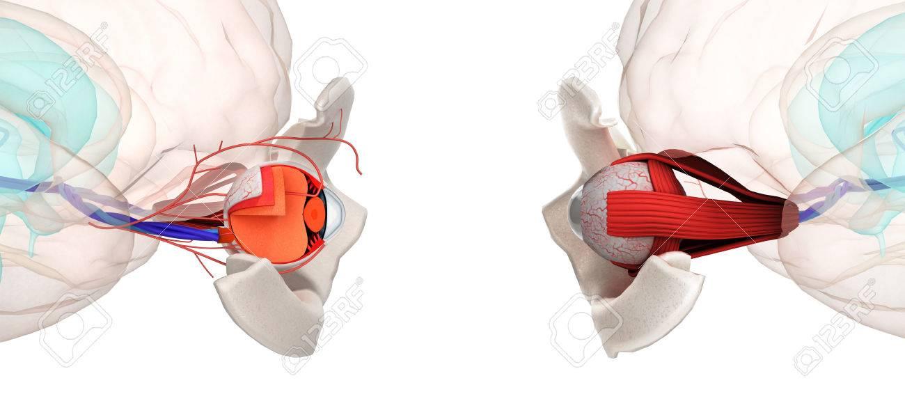 La Anatomía Y La Estructura De Los Ojos, Músculos, Nervios Y Vasos ...