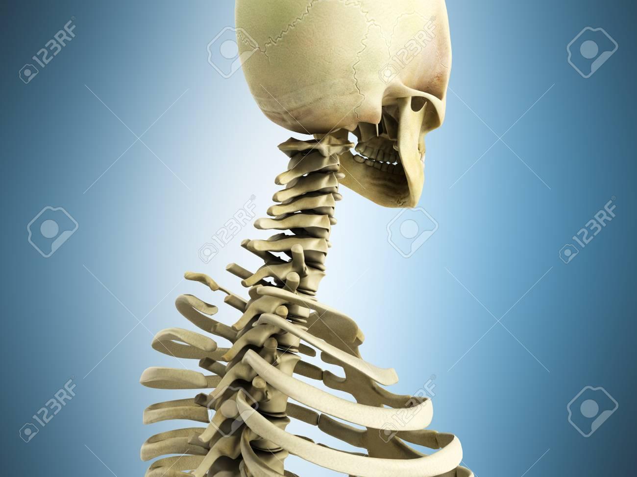 Fantastisch Hauptorgane Des Skelettsystems Ideen - Menschliche ...