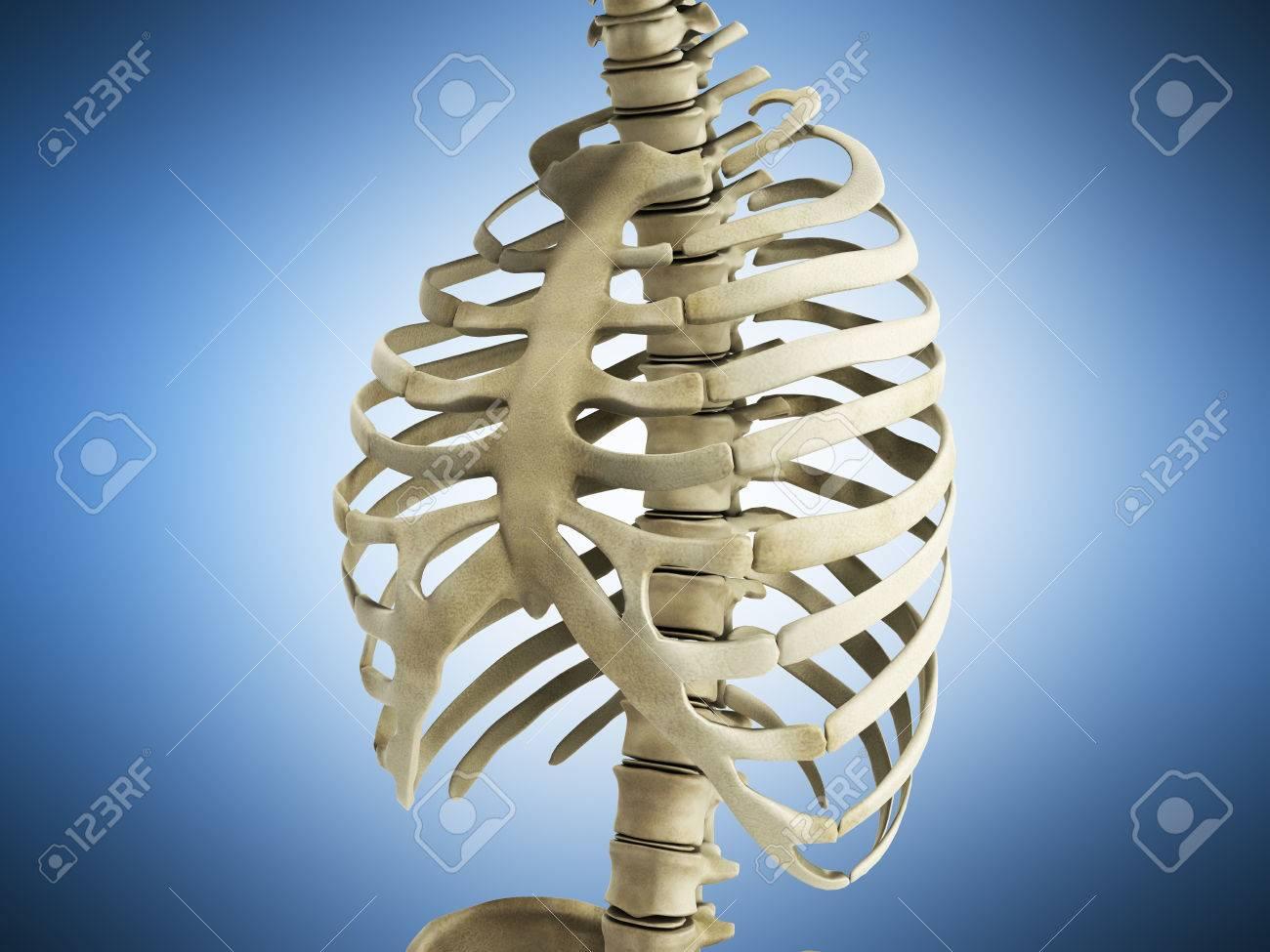 Uman Esqueleto Costillas Con Columna Vertebral Anatomía Vista ...