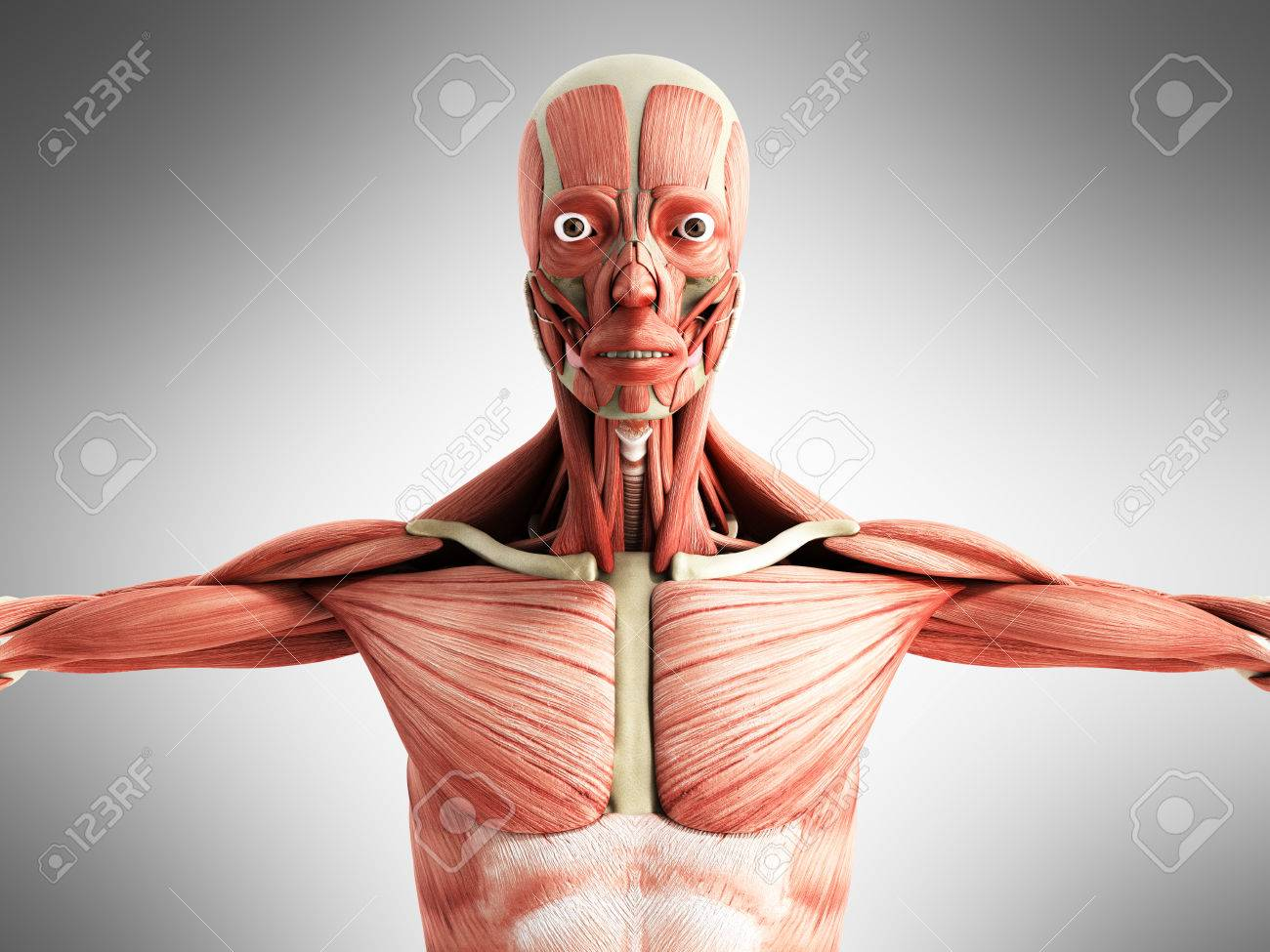 Human Muscle Anatomy 3d Render On Grey Front Stock Photo Picture