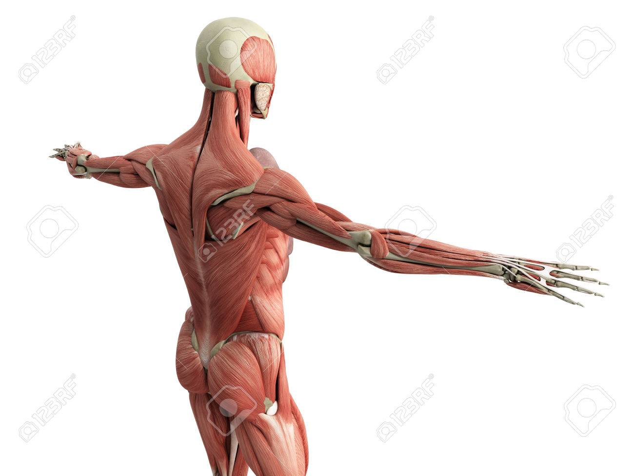 Human Muscle Anatomy 3d Render On White Stock Photo Picture And