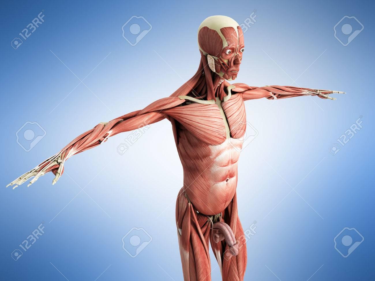Contemporáneo Anatomía Línea Adam Foto - Anatomía de Las Imágenesdel ...