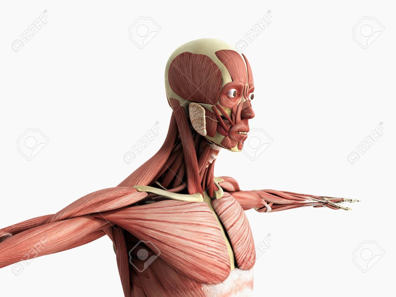 Menschliche Muskel Anatomie 3d Render Auf Weiß Lizenzfreie Fotos ...