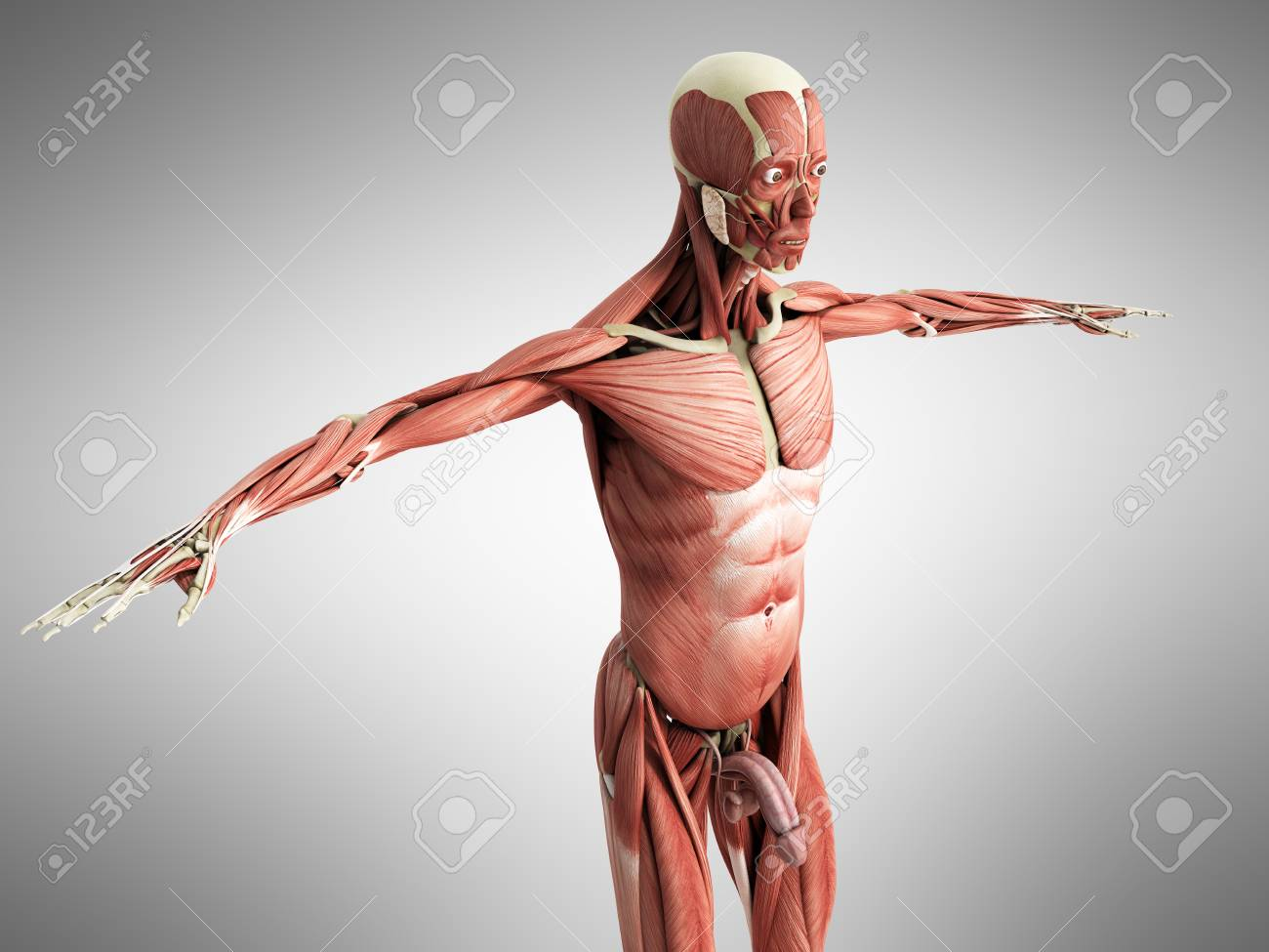 Human Muscle Anatomy 3d Render On Grey Stock Photo Picture And