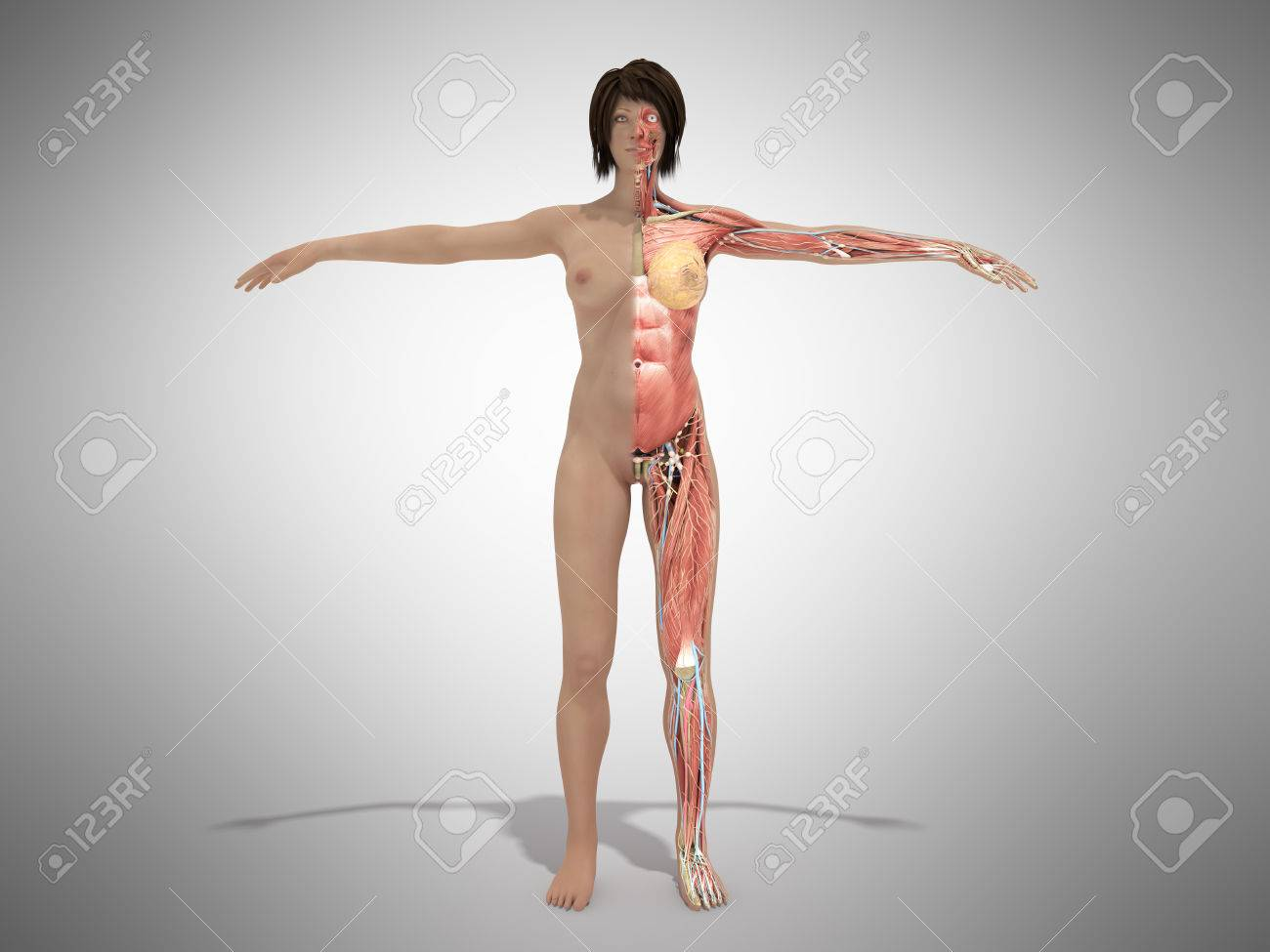 A Female Nude Body Anatomy For Books 3d Illustration On Grey Stock