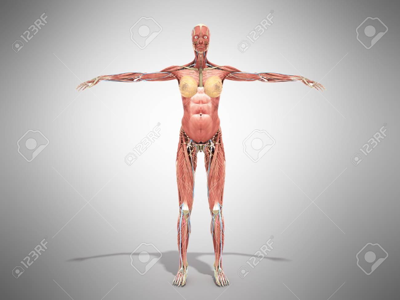 Vistoso Nueva Anatomía Gris Elaboración - Imágenes de Anatomía ...
