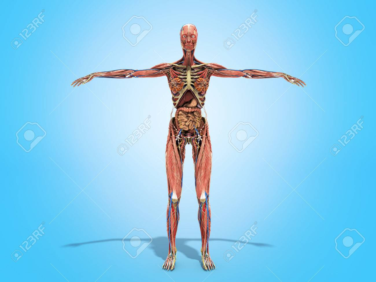 A Woman Body For Books On Anatomy 3d Render On Blue Stock Photo ...