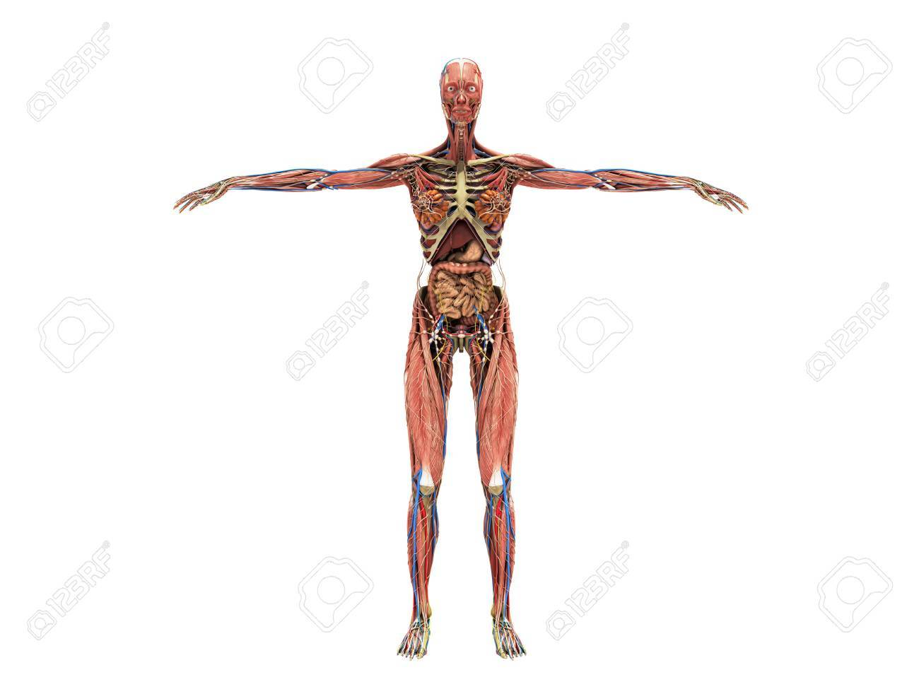 A Woman Body For Books On Anatomy 3d Render On White No Shadow Stock ...