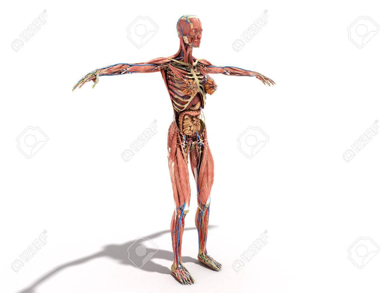 Eine Weibliche Körper Anatomie Für Bücher 3D-Illustration Auf Weiß ...